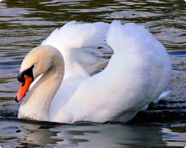 Лебединая песня