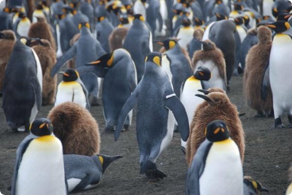 Проблематичная маркировка пингвинов