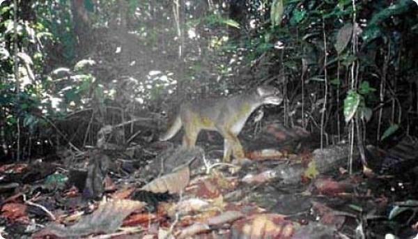 Дикая кошка с острова Калимантан