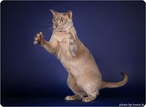 Бурманская кошка или Бурма