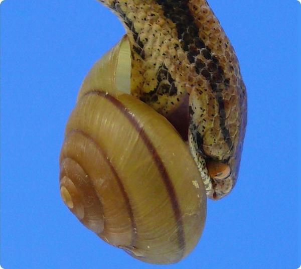 Чудо-раковина спасает моллюсков от нападения  змей