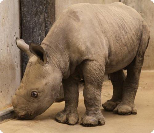 Первый черный носорожек за 20 лет