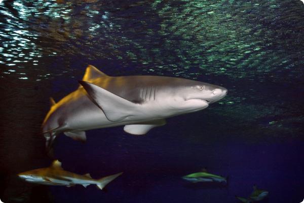 Похоже, акулы - дальтоники