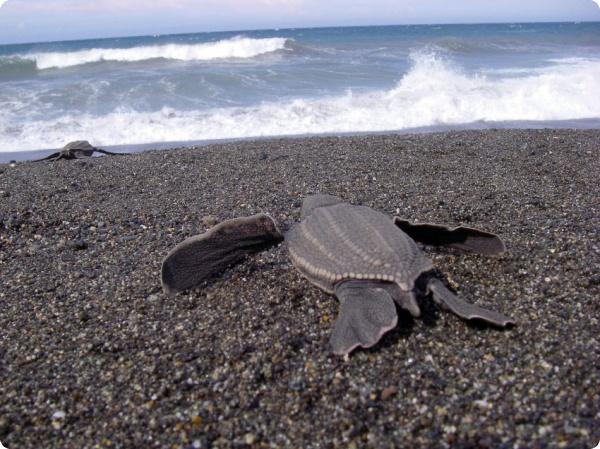 Черепахи пересекают Атлантику