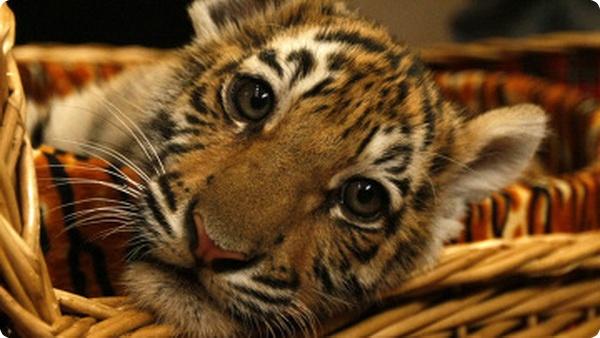 Как амурскому тигрёнку имя выбирали