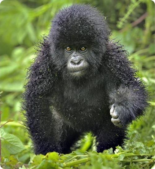 Курчавым приматам требуется стилист!