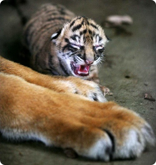 В зоопарке Таман Римбо родились три суматранских тигра