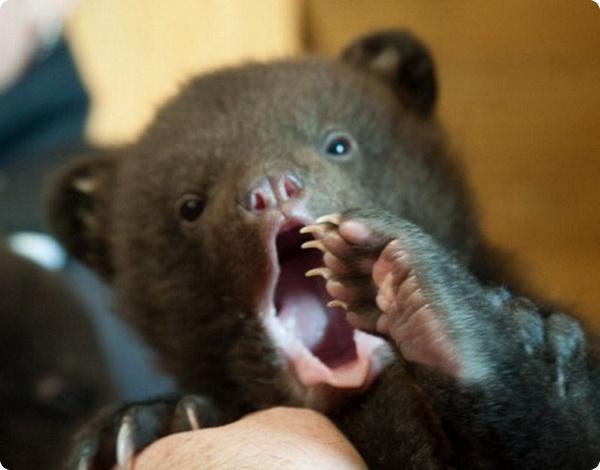 В Бердянске крошек медвежат поселят к львятам
