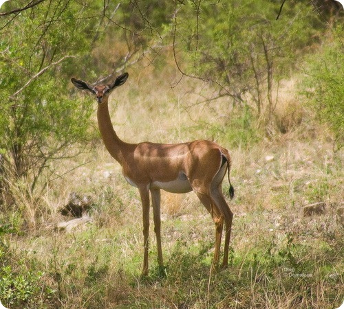 Геренук-жирафовая газель