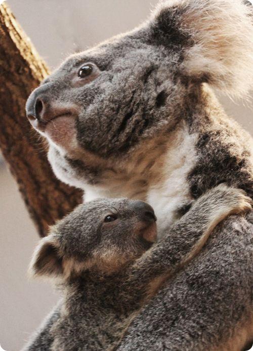 Маленький коалыш из Боваля