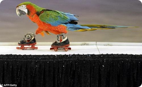 Дрессировщик научил попугая кататься на роликах
