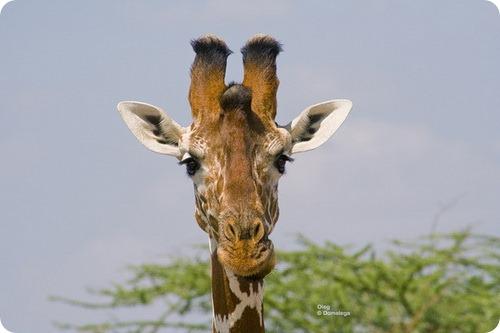 Жирафы бывают разные