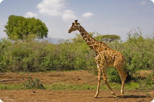 Сомалийский жираф