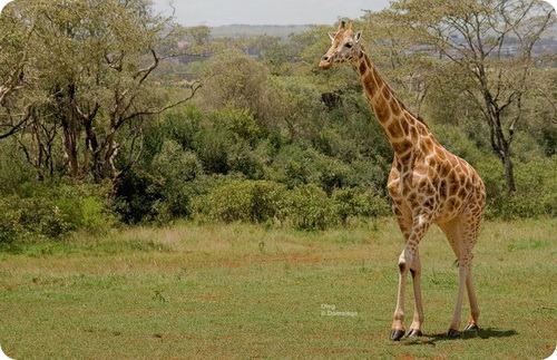 Угандийский жираф