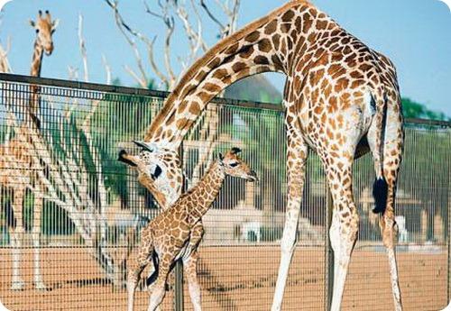 Нубиский жираф