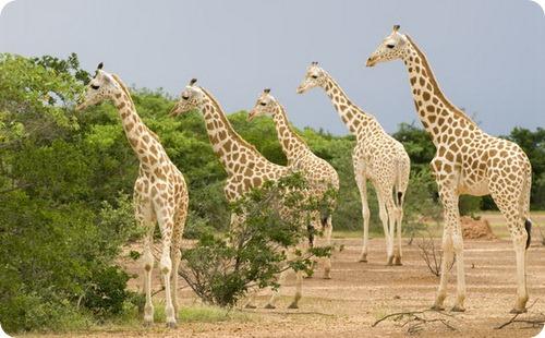Нигерийский (Западноафриканский) жираф