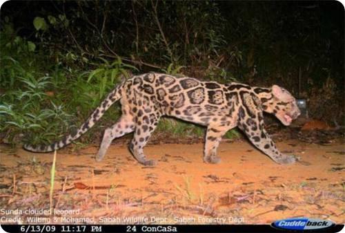 Зондский дымчатый леопард