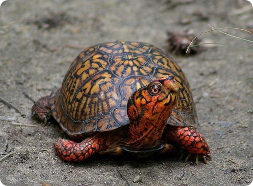 Каролинская коробчатая черепаха (лат. Terrapene carolina)