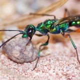 Изумрудная тараканья оса