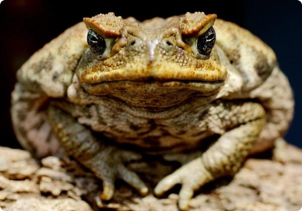 Заборы могут сдержать нашествие жаб