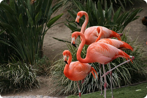Фламинго, фотографии фламинго