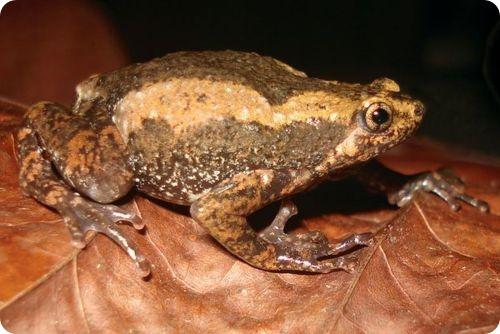 Деканская раманелла (лат. Ramanella anamalaiensis)