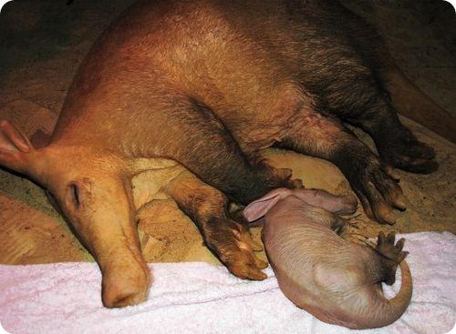 Детеныш трубкозуба из зоопарка Колчестера