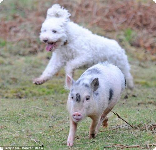 Луи - поросенок, считающий себя собакой