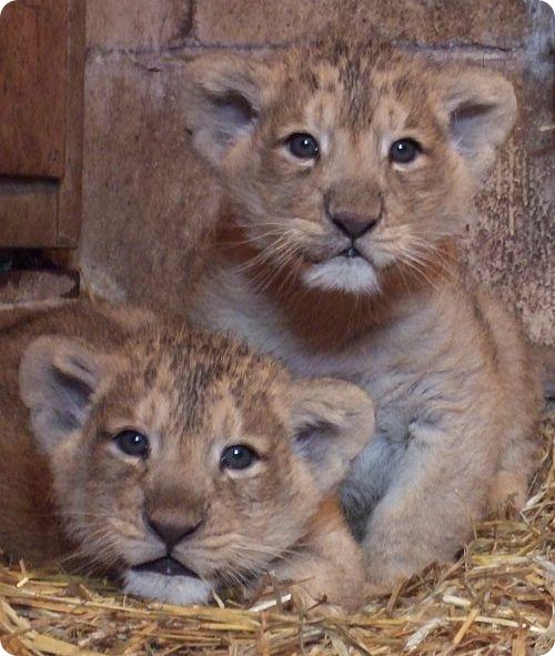В семье азиатских львов пополнение
