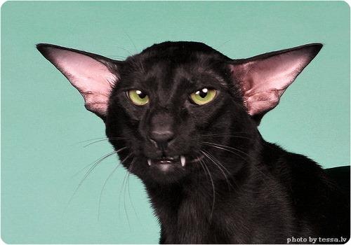 Ориентальная кошка, фото ориентальной кошки