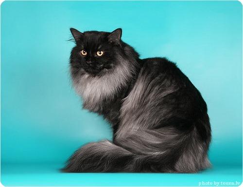 Сибирская кошка фото сибирской кошки
