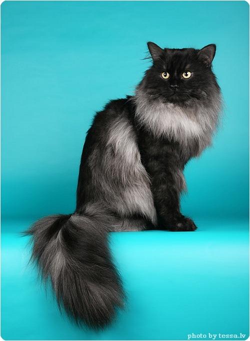 Сибирская кошка, фото сибирской кошки