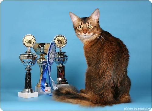 Сомалийская кошка, фото сомалийской кошки