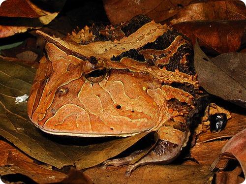 Амазонская рогатка