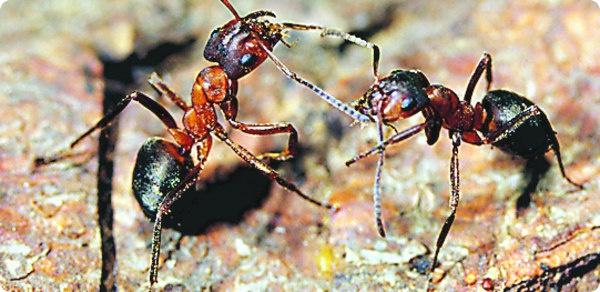 Тонкоголовый муравей