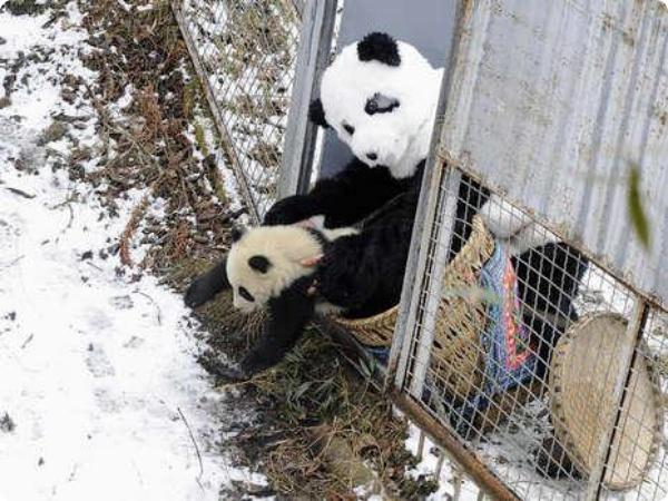 Детёныш панды отправляется на свободу