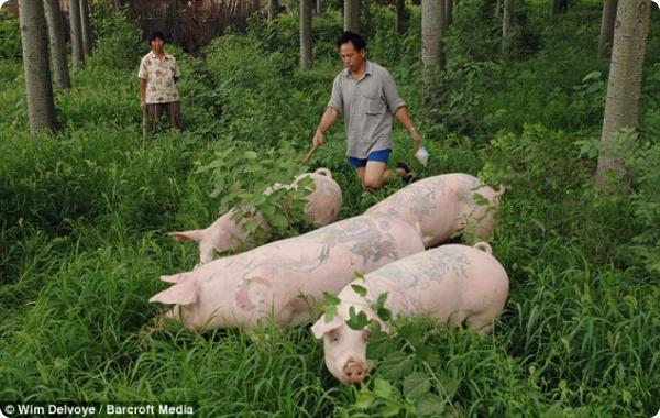 Татуированные свинки!