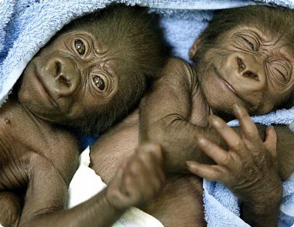 Самка горной гориллы родила двойню