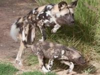 Щенки гиеновидной собаки учатся жизни