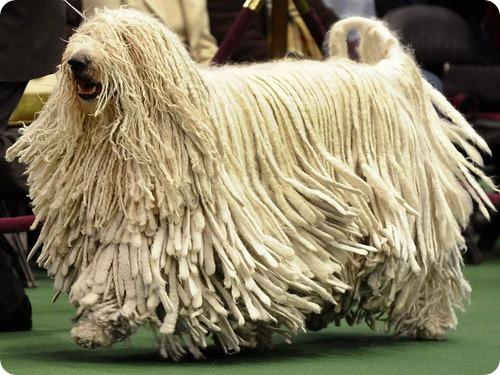 Комондор - венгерская овчарка