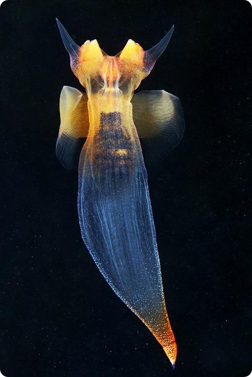 Морские ангелы, фото морских ангелов