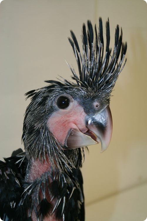 Впервые за сорок лет - птенец черного какаду