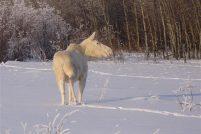 Белый лось