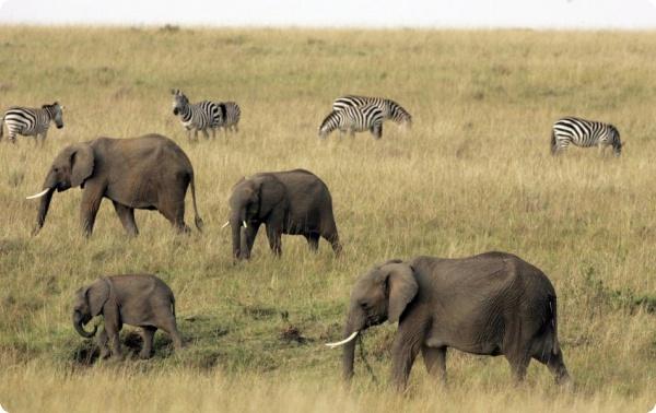 Мудрые африканские слонихи лучше руководят стадом