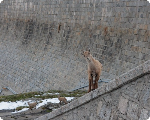 Козероги на плотине Diga del Cingino