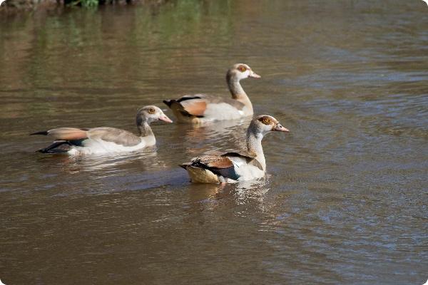 Нильский гусь вытесняет немецких водоплавающих