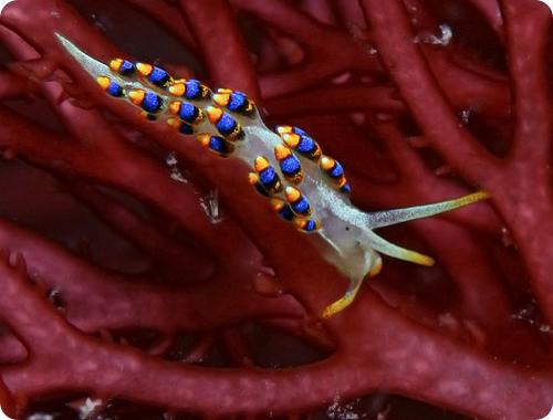 Голожаберный моллюск Cuthona caerulea