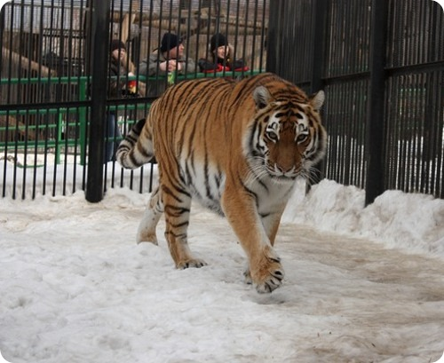 "Обезьяна и тигрица - ""мисс"" красноярского зоопарка"