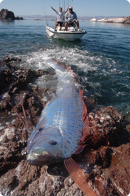 Сельдяной король, или ремень-рыба