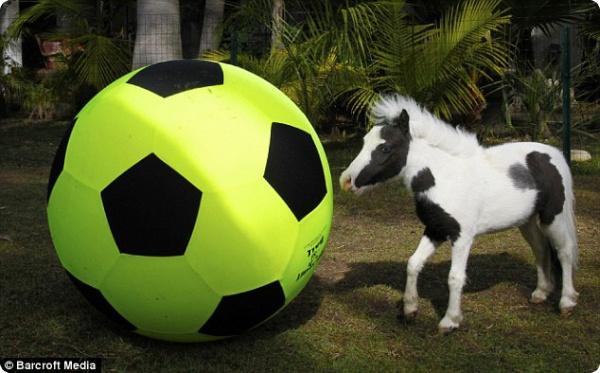 Самой маленькой лошадке в мире исполнился год